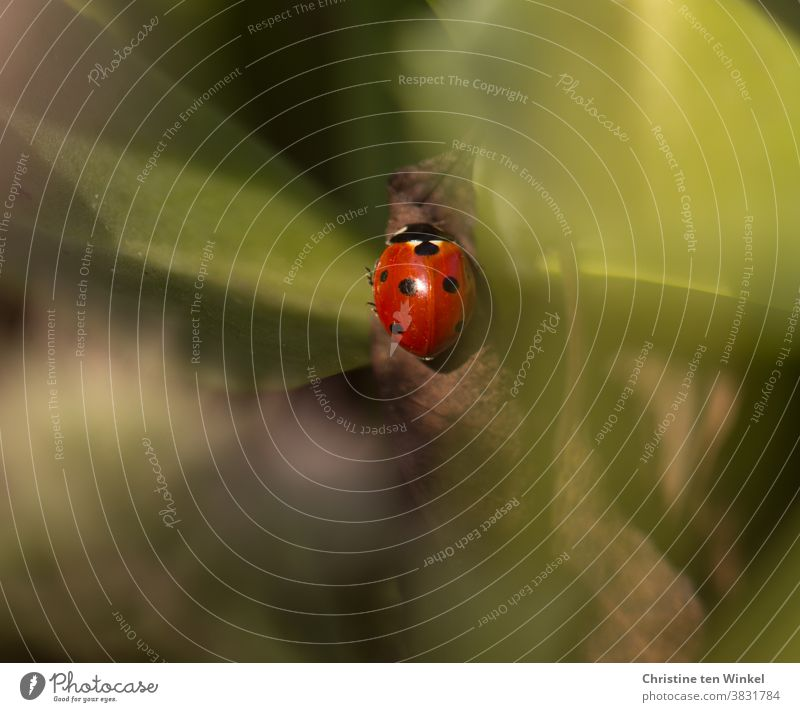 To seek and find happiness...    Ladybird hidden between green leaves Good luck charm Small Red pretty Beetle Animal 1 Happy Nature Insect Crawl seek happiness