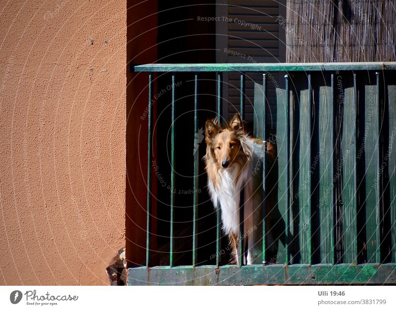 Collie looks sadly towards freedom. House (Residential Structure) Balcony house wall rail Dog Puppydog eyes Longing Curiosity inquisitorial longing for fun