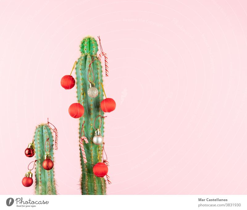 Cactus with Christmas ball decoration. cactus christmas balls pink background space copy desert holiday plant celebration green nature card red merry xmas year