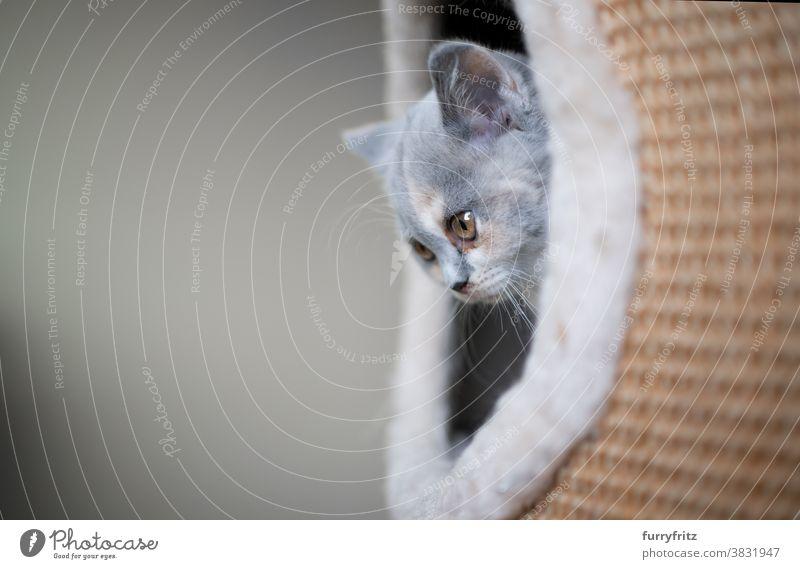 british shorthair kitten inside of scratching barrel cat pets british shorthair cat one animal purebred cat feline fluffy fur scratching post sisal