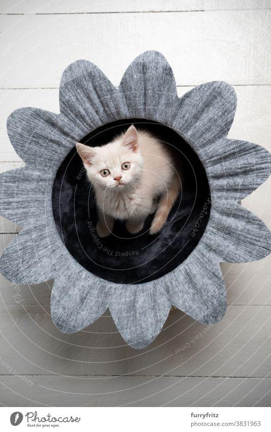 cute british shorthair kitten in flower pet bed cat pets british shorthair cat one animal purebred cat feline fluffy fur felt shape silhouette blossom kitty