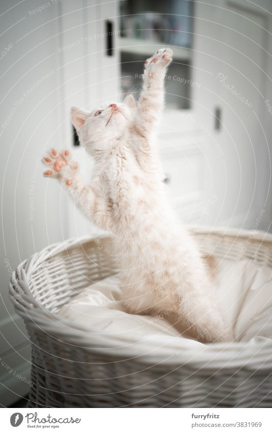 cute british shorthair kitten playing cat pets british shorthair cat one animal purebred cat feline fluffy fur kitty adorable beautiful cream colored looking up