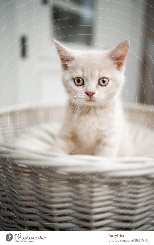 cute british shorthait kitten portrait cat pets british shorthair cat one animal purebred cat feline fluffy fur kitty adorable beautiful cream colored