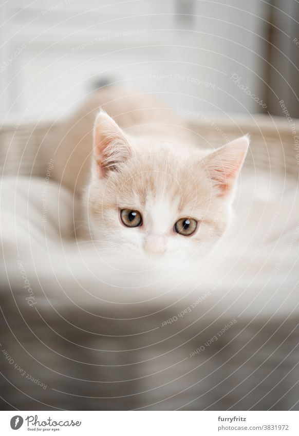 cute and curious british shorthair kitten cat pets british shorthair cat one animal purebred cat feline fluffy fur kitty adorable beautiful cream colored white