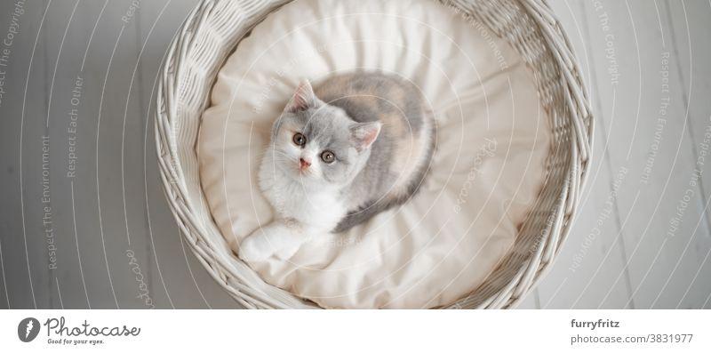 cute tortie white british shorthait kitten on pet bed cat pets british shorthair cat one animal purebred cat feline fluffy fur kitty adorable beautiful calico