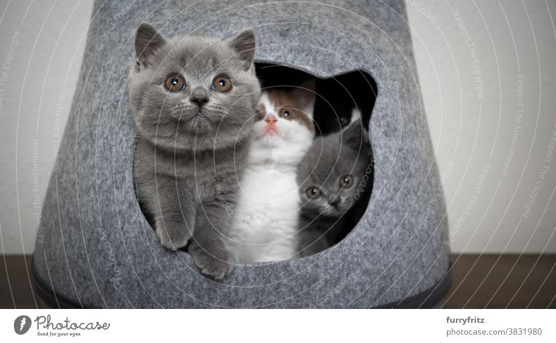 Three Funny Playful British Shorthair Kittens A Royalty Free Stock Photo From Photocase