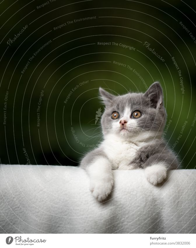 cute kitten bending over sofa edge looking curiously cat pets british shorthair cat one animal purebred cat feline fluffy fur kitty adorable beautiful blue