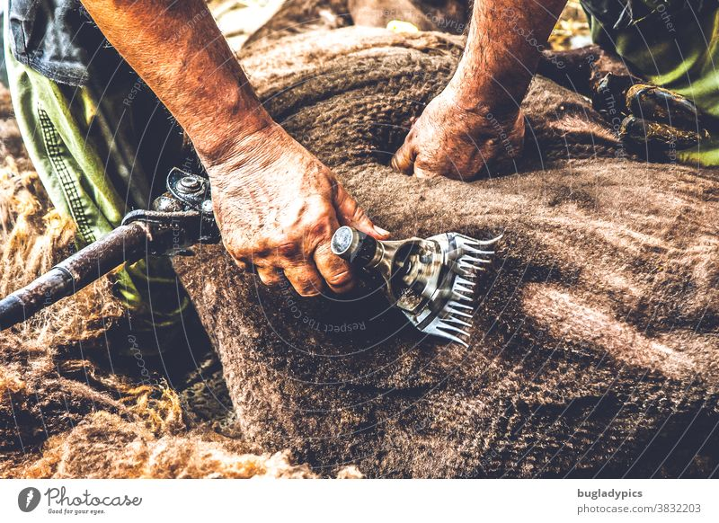 A sheep with brown wool is shorn with an electric shearing machine Sheep Lamb's wool Sheep shearing Wool New wool whiskers clip natural substance hairdressing