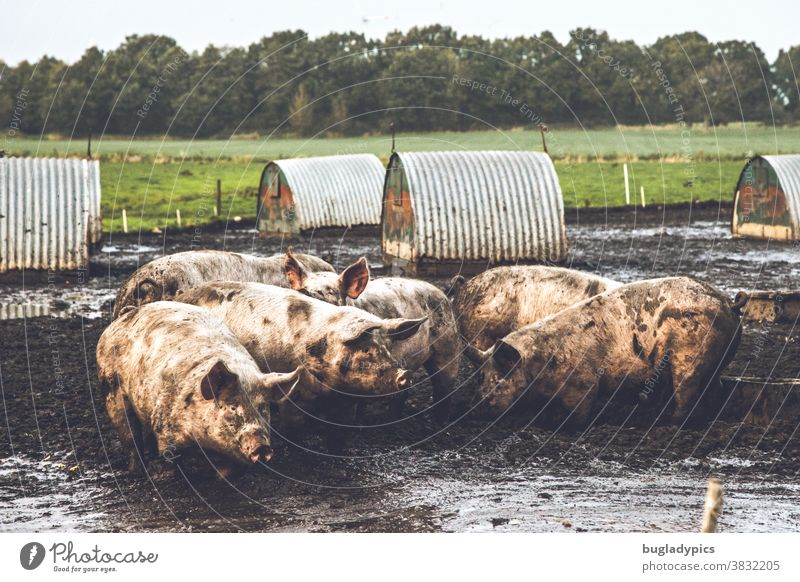 A group of pigs in the mud in a free-range system. In the background small shelters for the animals, a meadow and a small wood. Swine Sow sows Dirty Sludgy