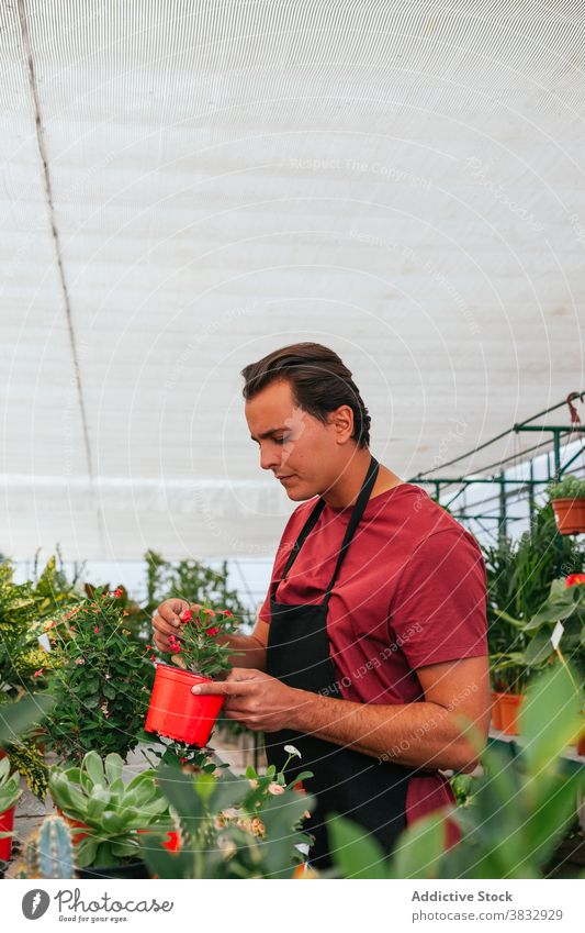 Gardener replanting houseplant in greenhouse transplant gardener man hothouse work flower bloom male pot apron occupation job growth botany organic nature hobby