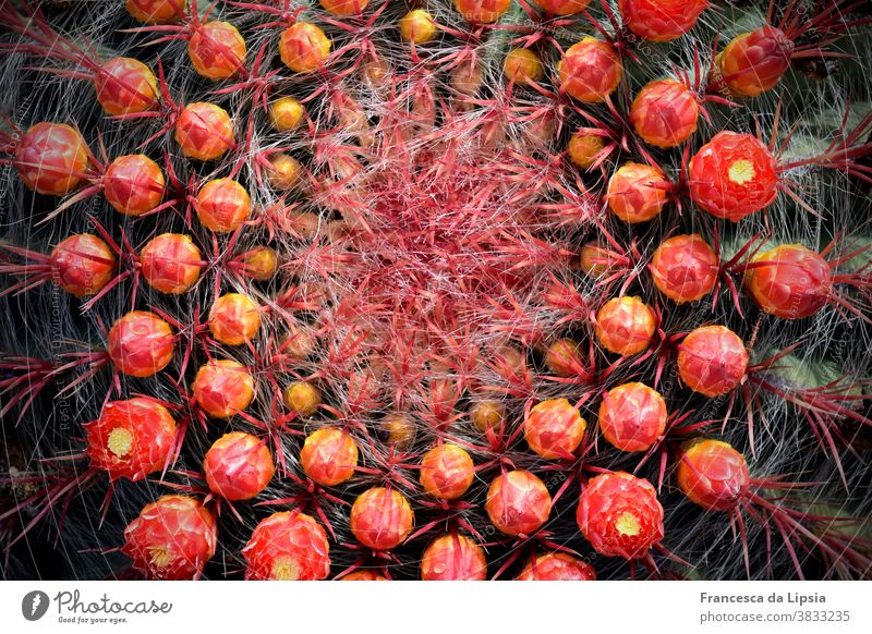 Cactus with red flower buds Close-up Bud Plant Thorny Macro (Extreme close-up) Colour photo Nature Deserted Detail Exotic Exterior shot Summer