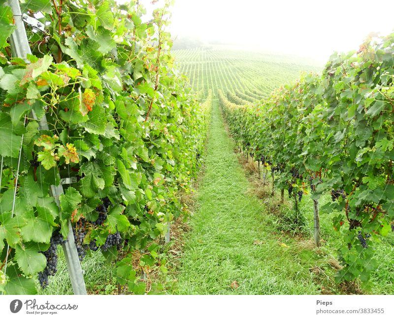 Just before the harvest Bunch of grapes Grape harvest Vine leaf vine series path Upward Misty atmosphere Harvest Markgräfler Land Green Wine growing