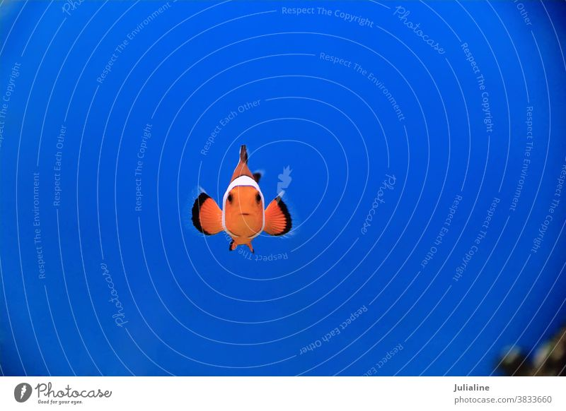 Clown fish clown anemonefish aquarium saltwater pet ocellaris white red orange nature underwater skunk striped