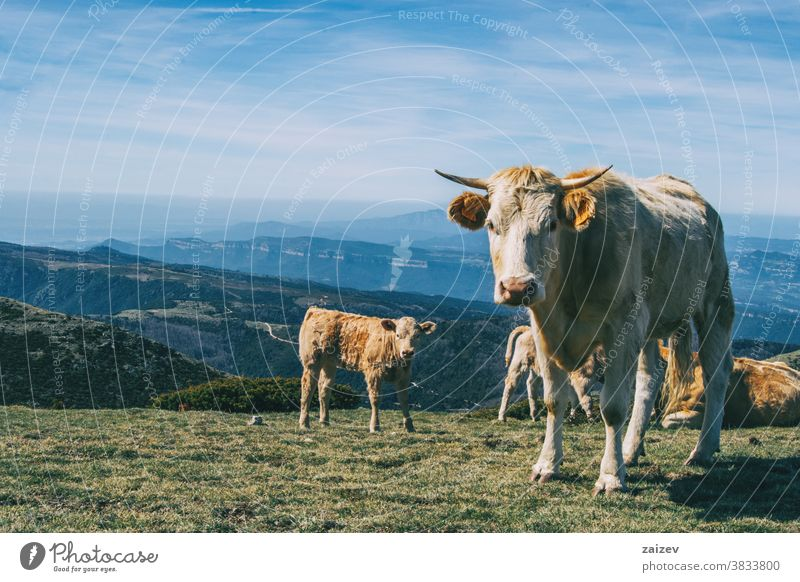 Portrait of a white cow and a calf looking at camera in the heights landscape cows group herd brown green meadow bushes shrubs altitude extension field grass