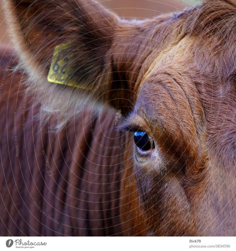 Cow en detail Cattle breeding Livestock Livestock breeding portrait Animal portrait Farm animal Colour photo Exterior shot Agriculture Deserted Day Nature