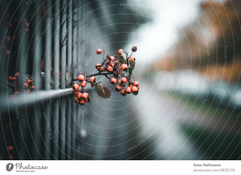 Rowanberries on the fence Rawanberry Fence bokeh Berries Nature Colour photo Autumn Red Exterior shot Plant Deserted Day Shallow depth of field Bushes