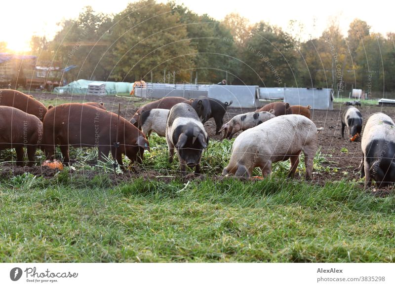 A horde of colourful domestic pigs rooting through fresh greenery and pumpkins in their exercise Pigs Pet animals Willow tree Pig pasture pig fattening