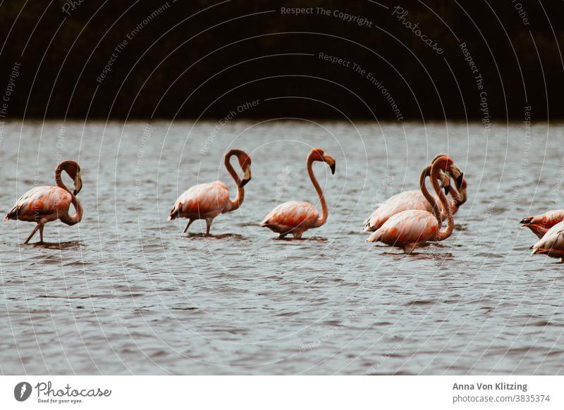 Flamingo Family birds Lake pink Long necks cloudy South America Cuba