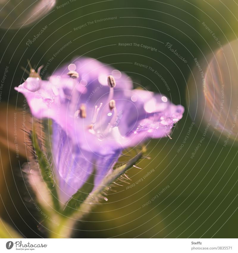little flower in the October sun autumn flower purple Violet little flowers Flower Blossoming light reflexes certain light Plantlet raindrops Drop dew drops