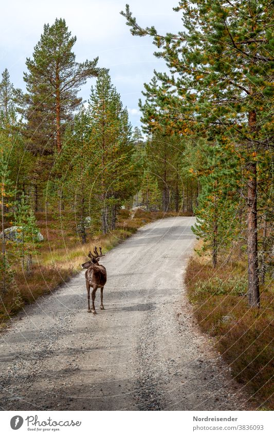 Reindeer on a forest path in the Norwegian Finnmark Day Copy Space bottom Deserted Exterior shot Colour photo Lapland Whimsical Freedom Walking Hiking