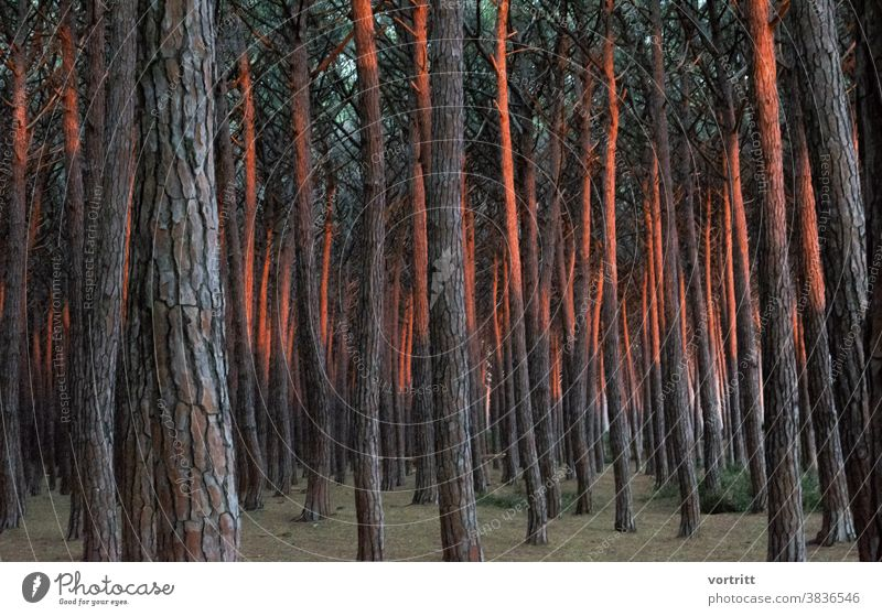 light appearance Forest trees Pine nut Sunset Repeating Deserted Forest atmosphere Play of colours