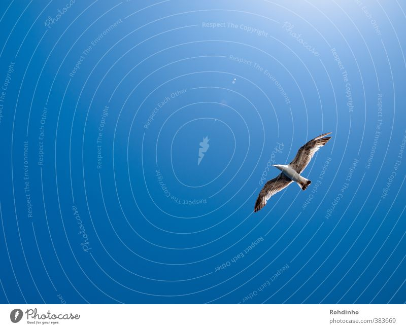 Bird flying high Environment Nature Air Sky Sky only Cloudless sky Sun Summer Beautiful weather Coast Animal Wild animal Seagull Gull birds 1 Freedom