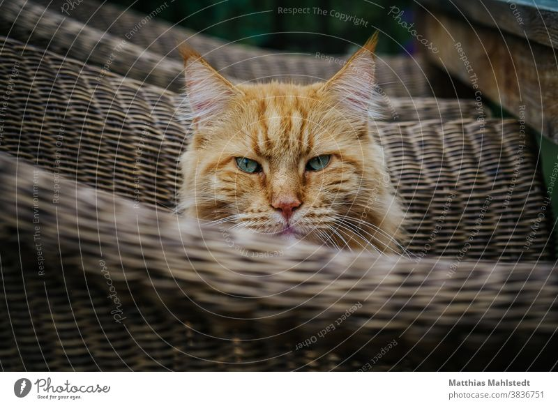 Cat sitting in a wicker chair Maine Coon Pelt purebred cat Longhaired cat pets Fluffy feline One animal pretty portrait Cute Ear tufts Outdoors Enchanting