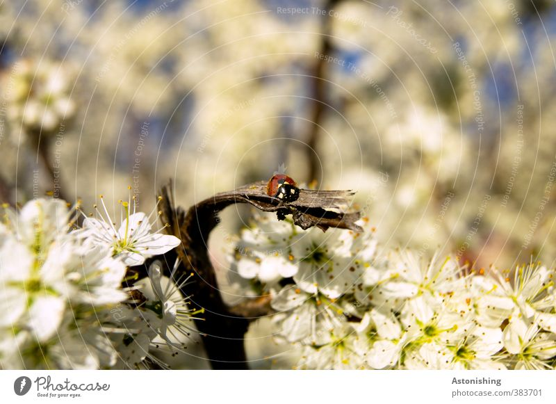 ladybugs Environment Nature Landscape Plant Animal Sky Sun Spring Weather Beautiful weather Warmth Tree Blossom Wild animal Beetle 1 Sit Blue Red Black White