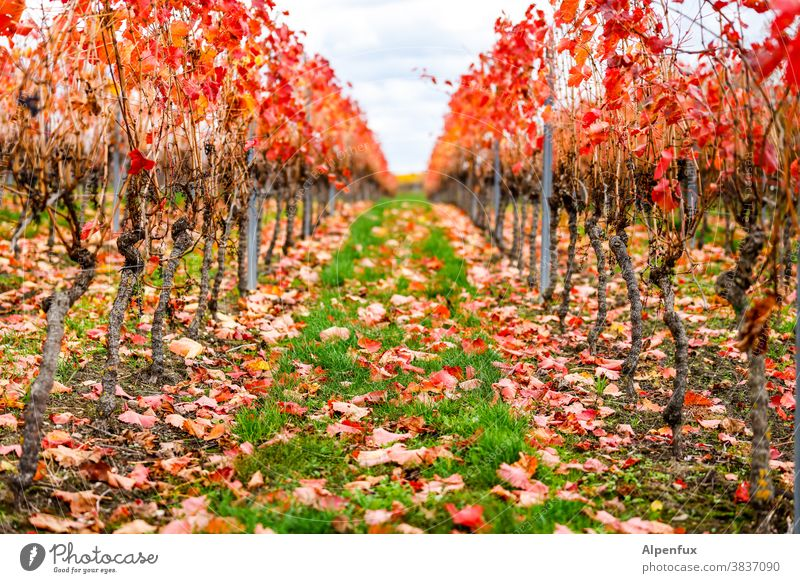 Autumn in Rheinhessen Seasons October Climate Multicoloured Early fall Nature Autumn leaves Leaf Autumnal colours Environment Day Light Exterior shot