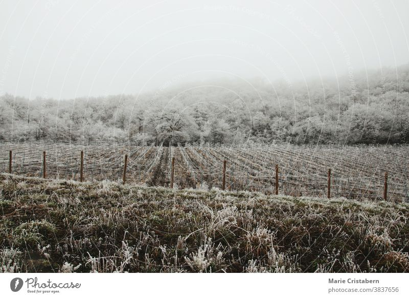 Frost covering the famous vineyards of Bernkastel-kues in Germany climate wintry frigid seasonal winter landscape snow covered trees fairytale wonderland scenic