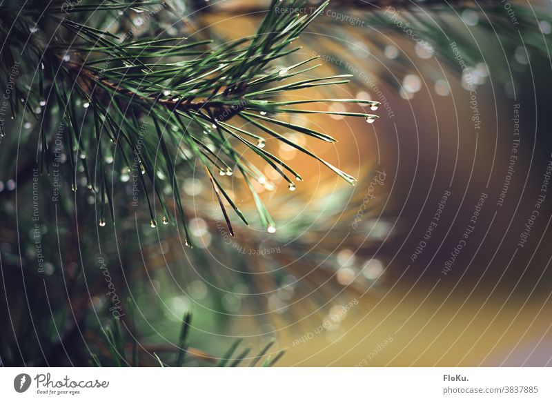 Fir branch with raindrops Rain Drop Water Nature Twig Twigs and branches Plant Drops of water Exterior shot Detail Shallow depth of field Weather Environment