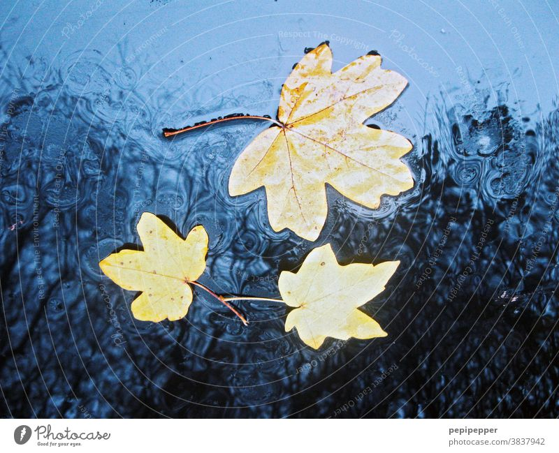 Leaves in the rain on a blue bonnet leaves Rain Autumn Autumnal Nature Autumn leaves Autumnal colours Leaf Colour photo Early fall Blue Car Hood Seasons