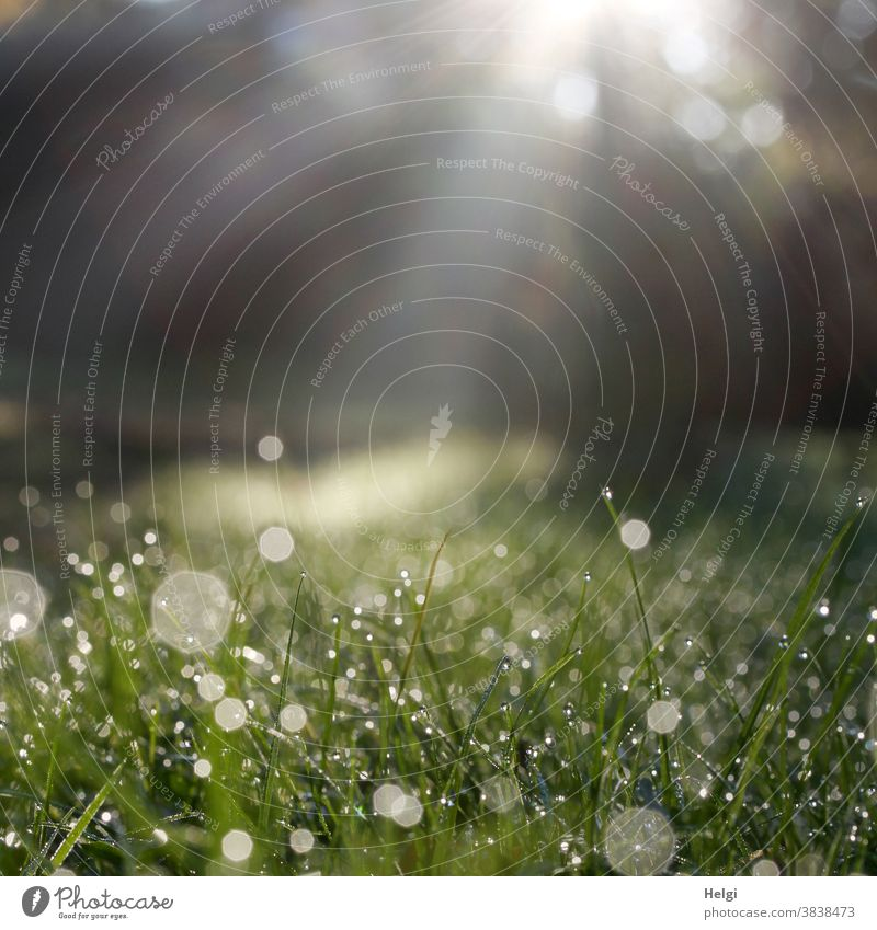 Dewdrops on the meadow against the light, illuminated by sunrays Drop dew drops Sunbeam Sunlight Back-light Meadow Morning in the morning Wet Fresh bokeh