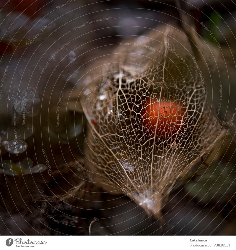 The berry of the physalis lies protected in a filigree net Nature flora Plant Physalis Chinese lantern flower Fruit Sámen go out Transience Design Orange Garden