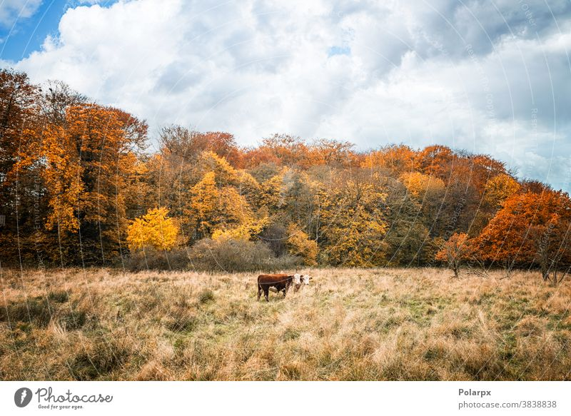 Two Hereford cows on a meadow in the fall forest free range woods ranch farmer land environment colorful standing season rural flock outdoors domestic farmland