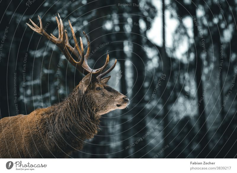 Deer in the Allgäu winter forest Germany Europe Schwangau animals Forest wildlife stag Winter antlers stag's antlers deer trees Coniferous forest Tree trunk