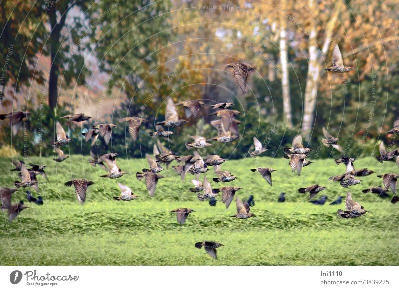 Starlings flying low over a meadow Stare birds Sturnus vulgaris Starling swarm low flying plumage pearl pattern white dots feathers Flight Exercises troop