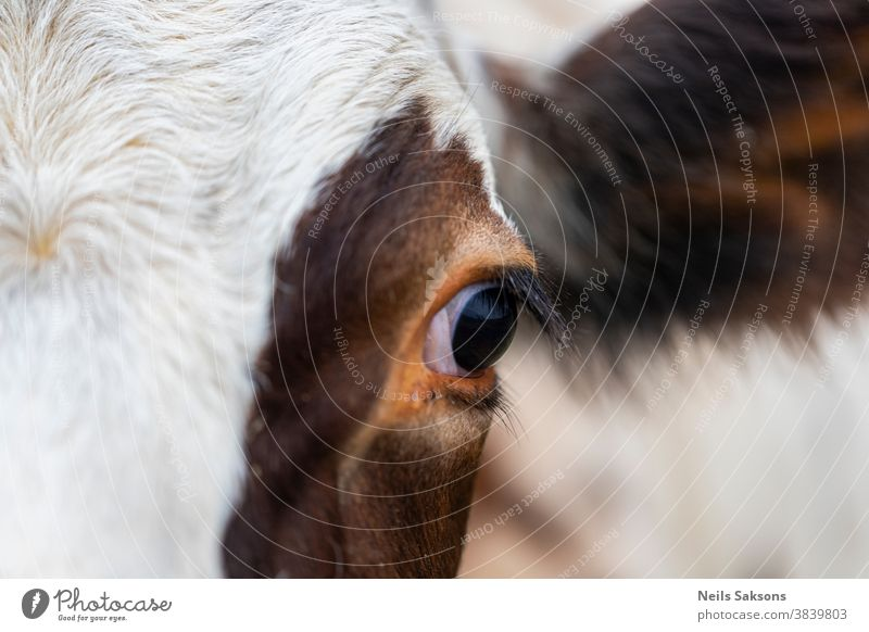 eye of brown and white cow Agriculture animal background beef blue bovine cattle close closeup cloud countryside cute dairy domestic ear eyes face farm farming
