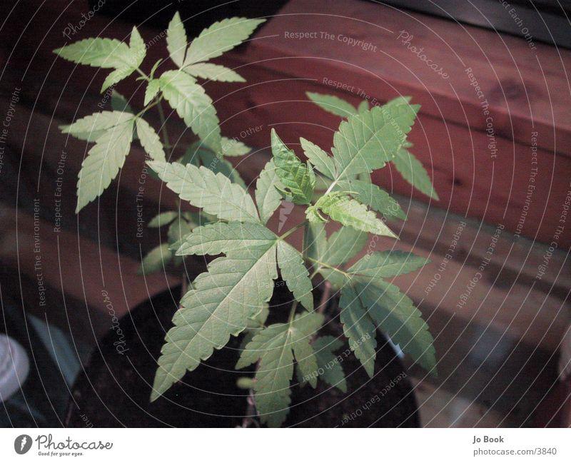 Green Plant Leaf Intoxicant Cannabis Hemp