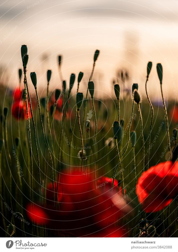 Poppy field, evening Colour photo poppy seed capsules encapsulate sunny Day Sky Flowerbed spring meadow Flower meadow Summery Meadow flower garden flower