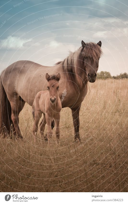 RENEWS Nature Landscape Plant Sky Clouds Flower Grass Meadow Animal Farm animal Horse Animal face Foal Iceland Pony 2 Baby animal Observe Looking Stand