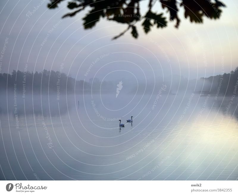 romance Idyll Swan Pair of animals 2 Lovers Serene Swimming & Bathing Float in the water out Dreamily Attachment Long shot Panorama (View) Lake Surface of water