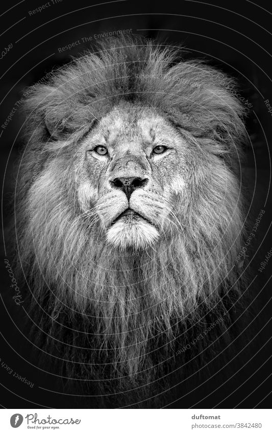 Portrait of a lion in black and white Lion Head portrait Animal Animal portrait Wild animal Animal face 1 Nature Exterior shot Looking Majestic Zoo