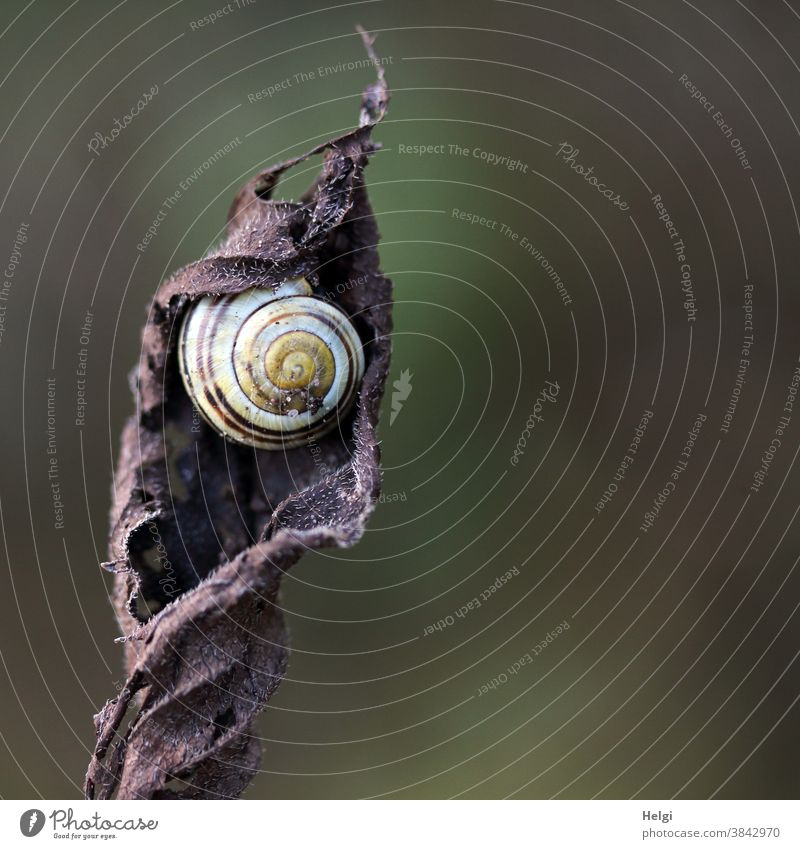 Snail in snail shell has made itself comfortable in a withered leaf Crumpet Animal crawling animal Snail shell ribbon screw Leaf Autumn Dry Nature Colour photo