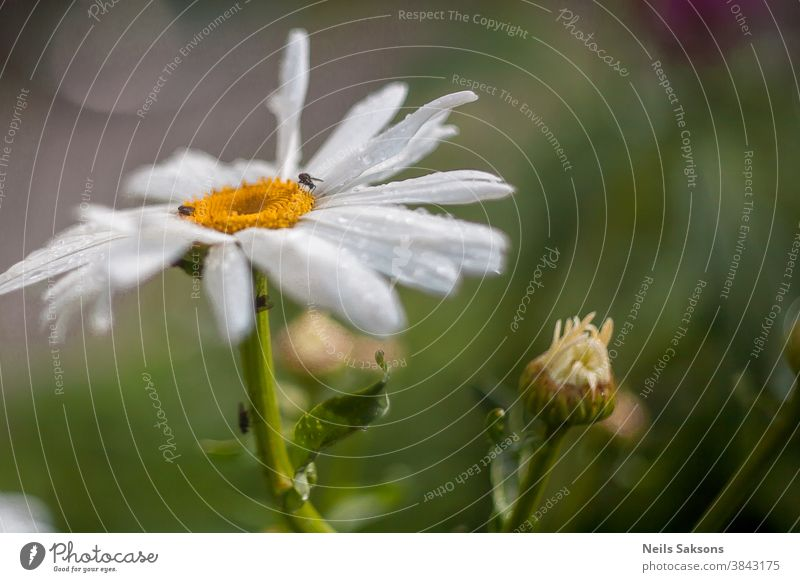 big white garden daisy with small insects on it and a little burgeon Aroma background beautiful beauty beetle business butterfly chamomile courtyard day design