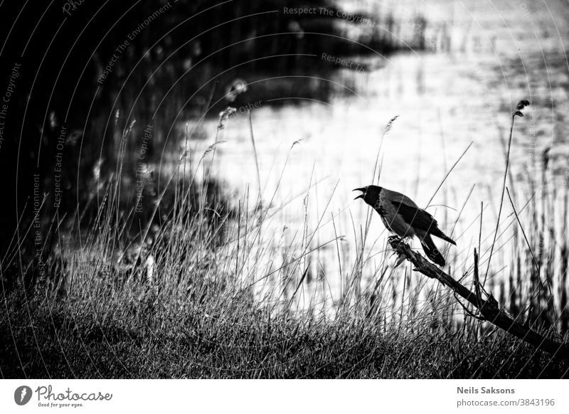 Crow screeching on a dead tree by the lake, black and white Alone art autumn background beautiful beauty big branch bw calm corpse creepy crow death dramatic