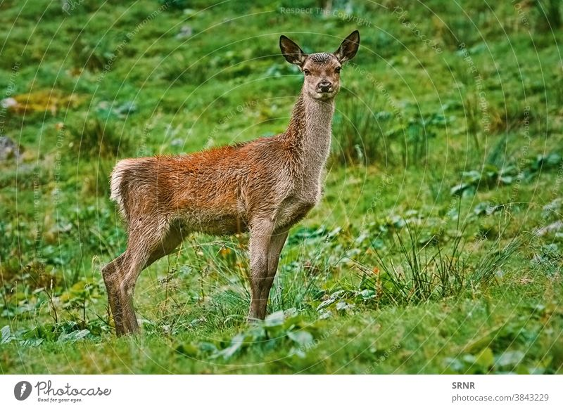 Deer on the Slope of a Hill animal artiodactyl axis axis axis deer cervidae cheetal chital cleft-footed cloven-footed cloven-hoofed doe ears elk even-toed fauna