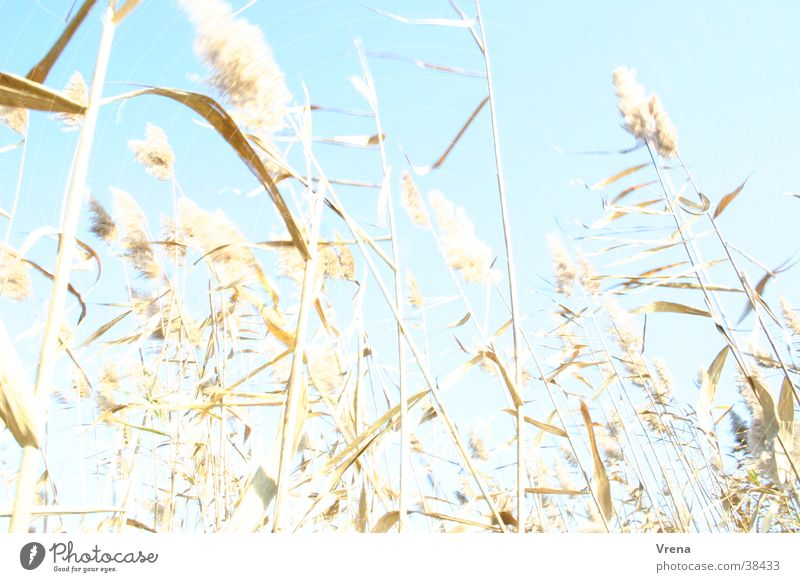 reed grass Common Reed Overexposure Grass Bright Wind