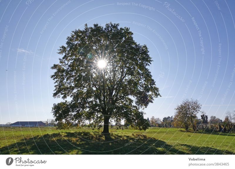 Oak against the light Oak tree Tree Sun Back-light Meadow roedermark ober-roden Hesse Germany Sky Brilliant sunbeam Sunbeam Bright October Brown Individual