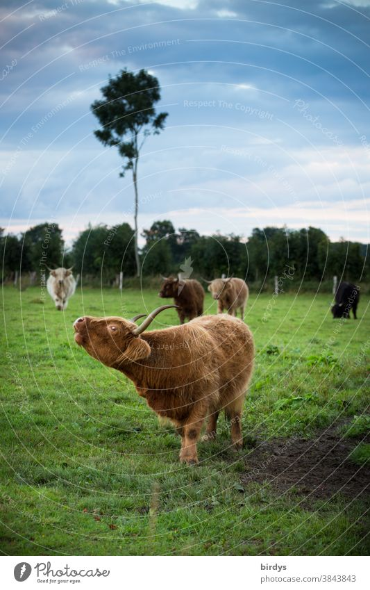 A herd of Highland cattle on a pasture. extensive cattle husbandry, grazing, outdoor cows Willow tree organic meat extensive agriculture Landscape Herd